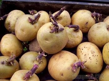 Как выбрать, сохранить и посадить семенной картофель для высокого урожая