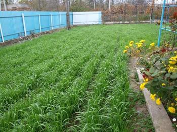 Посадка сидератов осенью, весной и летом: как сажать и когда их перекапывать