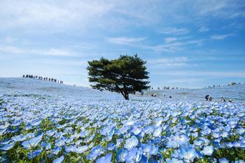 Как цветут немофилы в Японии