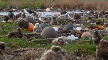 Душераздирающие снимки мертвых морских птиц сжелудками, набитыми океанским пластиком