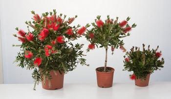 Виды каллистемона с фото — уход за комнатным растением