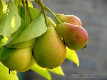 Как привить грушу весной – подробный мастер-класс