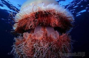 Самая большая медуза в мире: фото