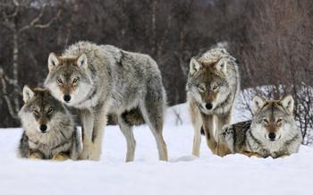 Два года в волчьей стае: как грузинский ученый выживал среди диких зверей