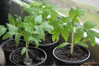 Как посадить томаты. Самый простой способ