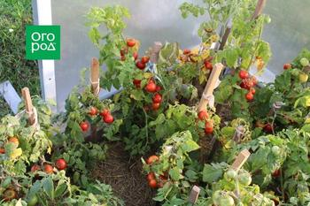 Ранние томаты: как получить урожай в июне