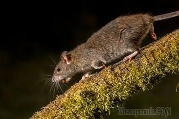 Что делать, если на даче завелись крысы