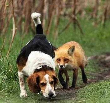 Как охотиться с гончими на лисицу?