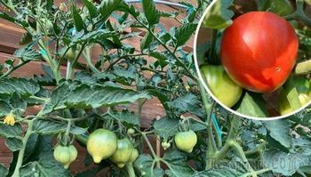 6 необычных способов выращивания томатов