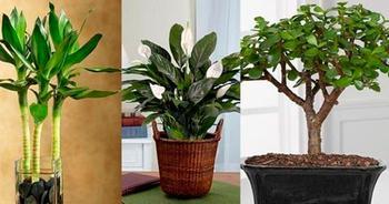 Комнатные растения приносящие удачу