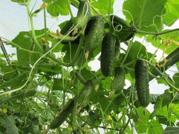 Лист огурца – почему он желтеет и по каким причинам горчит овощ?