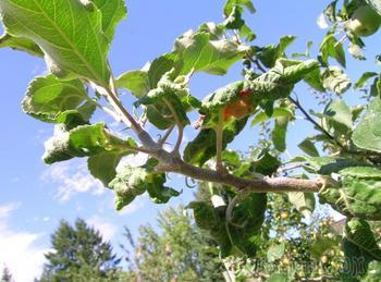 Почему на яблоне и груше скручиваются листья – причины и советы
