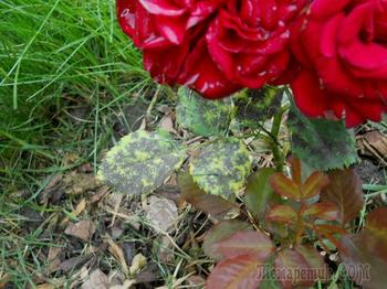 На листьях розы появились пятна – что делать и чем лечить растения