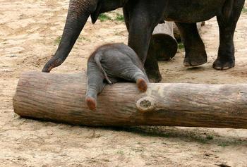 30 маленьких слонят, что жить без приключений не хотят