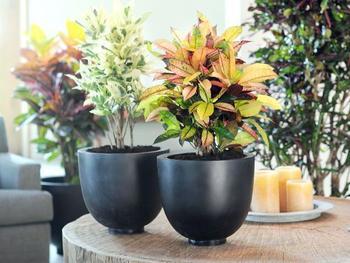 Цветок кротон: как ухаживать в домашних условиях