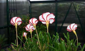Цветок оксалис версиколор: посадка и уход в домашних условиях