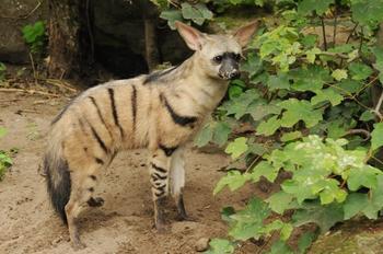 Фотографии, доказывающие, что африканские земляные волки — самые милые маленькие животные в мире