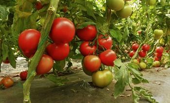 Йодная подкормка для томатов: все рецепты и советы