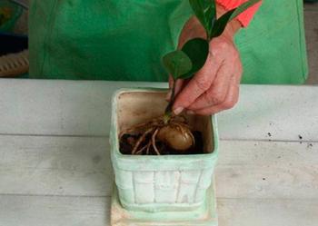 Замиокулькас: подробная инструкция по пересадке растения