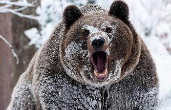 Почему медведи просыпаются зимой, или 5 фактов о медведях-шатунах