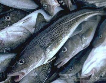 Северян обеспечат дешевой рыбой