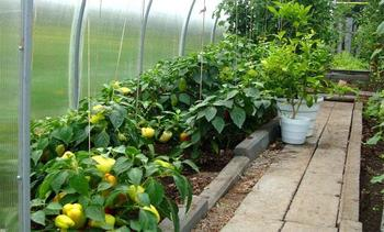 Правильное выращивание перца в теплице из поликарбоната, особенности ухода