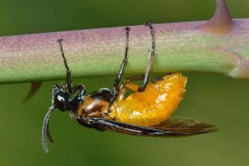 Пилильщики на деревьях и цветах: как опознать и избавиться