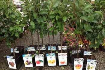 Как правильно выбрать саженцы плодовых деревьев: советы начинающим садоводам