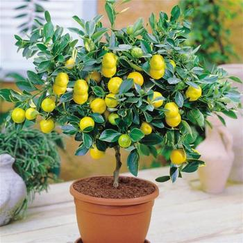 Как посадить и вырастить лимон из черенка?