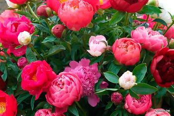 10 полезных советов по выращиванию пионов