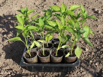 Когда можно высаживать рассаду в теплицу