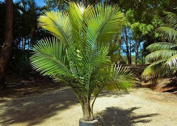 Равенея - величественное растение из семейства Пальмовых