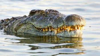 9 фактов о крупнейшем крокодиле Африки
