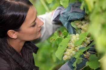 Почему ягоды на винограде сохнут, а не спеют – три основные причины