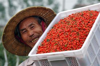 Ягоды годжи — лечебные свойства китайской лебеды