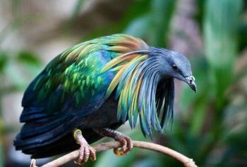 10 самых необычных и фантастических голубей со всего света