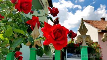 Майские розы в городе Сливница