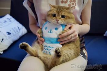 Хосико — кот, как две капли воды похожий на кота в сапогах из «Шрека»