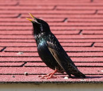 Скворцы на даче польза или вред