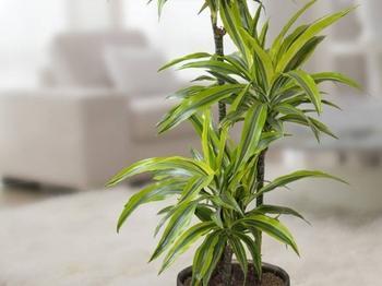 Комнатный цветок «Драцена»: уход, размножение, пересадка