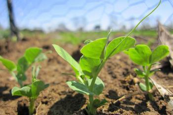Лучшее время для посадки гороха на участке. Тонкости посева семян