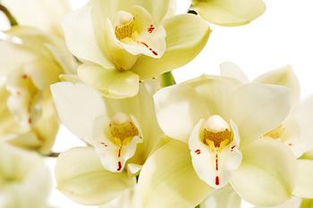 Орхидея цимбидиум, как ухаживать чтобы из стрелочки появился цветок