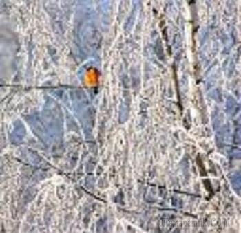 Снегирёк на ветке