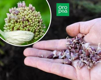 Как выращивать озимый чеснок из семян