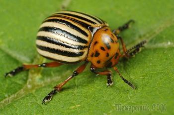 Колорадский жук - как бороться. Народные средства и химические препараты