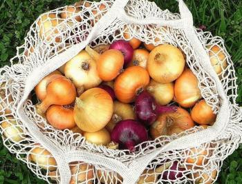 Тонкости в уборке урожая лука