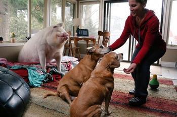 Очень счастливая домашняя свинья