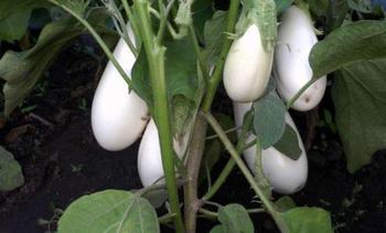 Характеристика и описание сорта баклажанов Вкус грибов, выращивание и уход