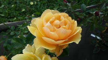 Роза Амбер Куин: особенности агротехники и посадки