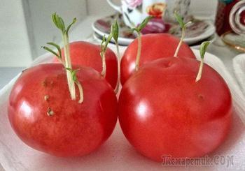 Семена проросли внутри томата – использовать плод или выбрасывать